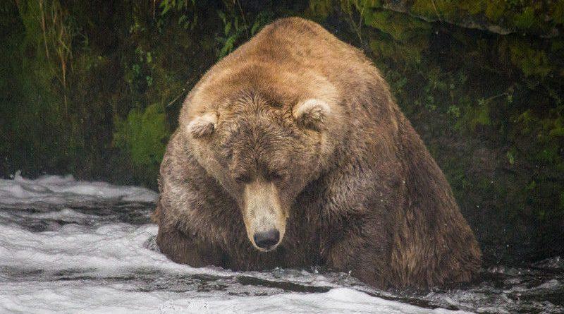 Meet Otis, the Fattest Bear