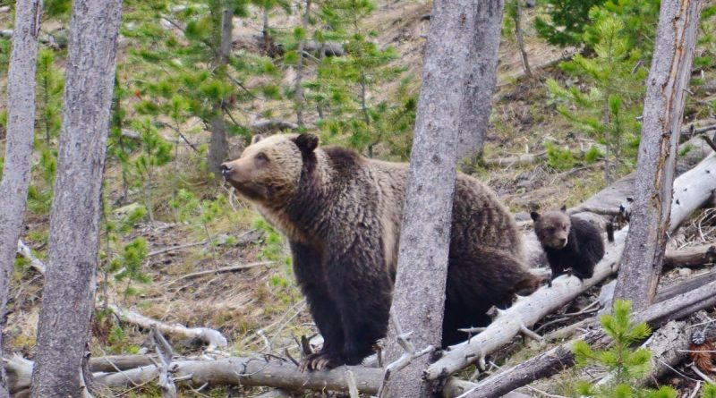 Yellowstone Grizzly Bear Removed From Endangered Species List