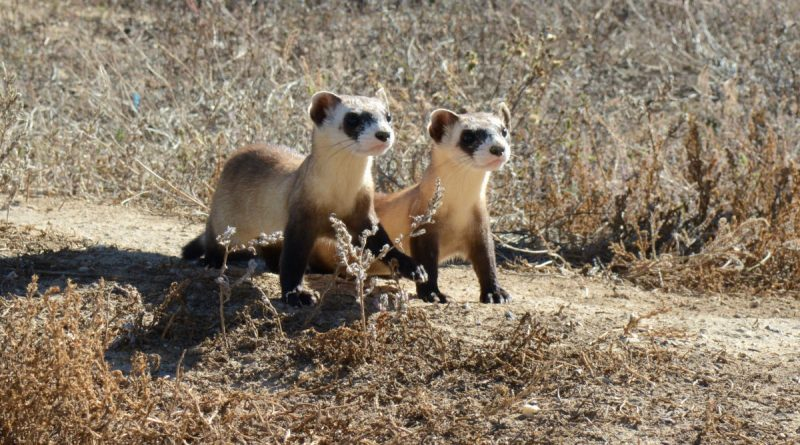 Black-Footed Ferrets Are Your New BFFs