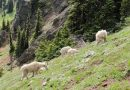 Olympic National Park Plans to Pack Up its Mountain Goats and Ship Them Away
