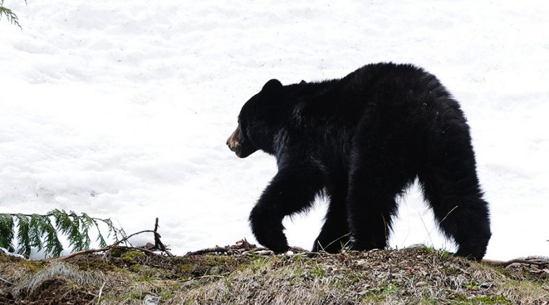Another top-10 all-time bear harvest in Pennsylvania