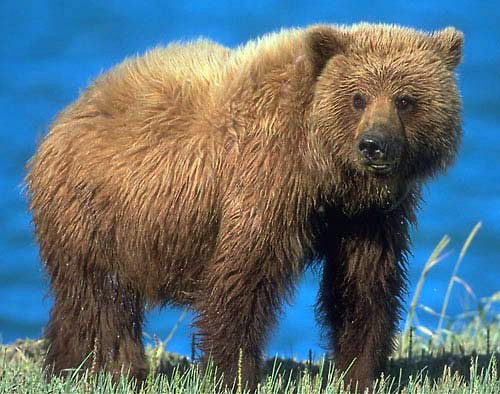 Idaho bid for grizzly hunt continues with public meetings, input