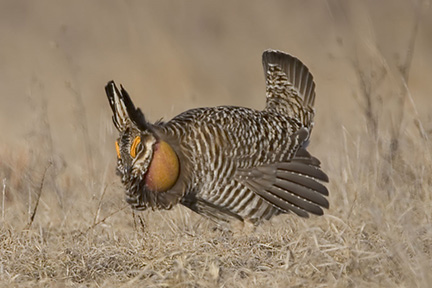 Boom time on central Wisconsin's grasslands
