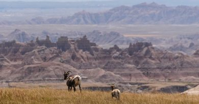 North Dakota Bighorn Sheep Population Declines