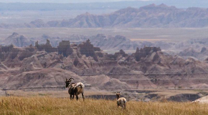 North Dakota Bighorn Sheep Population Declines