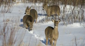Northern Wisconsin County Has First Documented Case of CWD