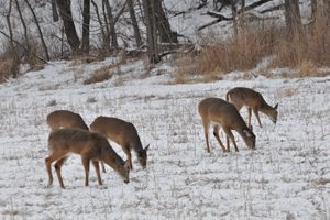 Deer feeding bill gets massive makeover, passes Senate