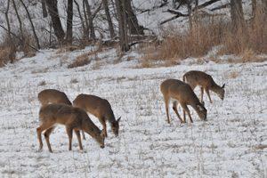 Deer feeding bill gets massive makeover, passes Senate