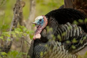Wild turkey surprise: Locating and calling boss gobblers during the unusual spring of 2018