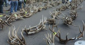30 People Handed Trespassing Citations for Early Shed Hunting in Jackson, Wyoming
