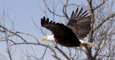 Maine bald eagles continue amazing recovery from the brink