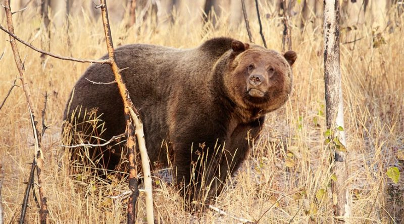 Breaking News: Game and Fish Commission Approves 2018 Wyoming Grizzly Bear Hunt