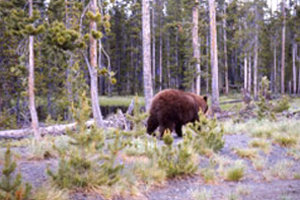 Montana officials seek information on dead grizzly; hikers shoot Wyoming bear in self defense