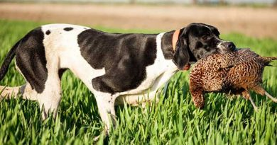 Keeping hunting dog from overheated